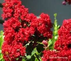 red lilacs google search nature pinterest lilacs lilac