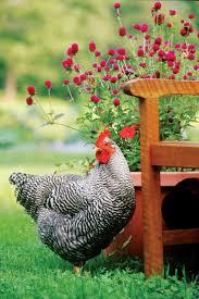 1021 best chickens and chicken stuff images on pinterest chicken