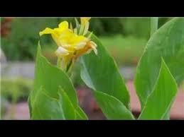Cana Lilly Lilies U0026 More How To Care For Canna Lilies Youtube