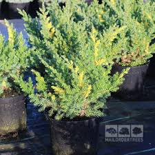 juniperus juniper mail order trees