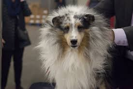 australian shepherd westminster 2016 photos the cutest dogs from day 1 of the 2016 westminster dog
