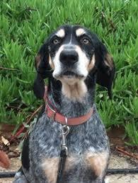 bluetick coonhound west virginia bluetick coonhound dog for adoption in huntley il adn 430699 on