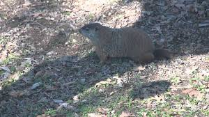 groundhog woodchuck muskrat gopher nutria youtube