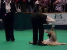 afghan hound national 2014 afghan hound show video funnydog tv