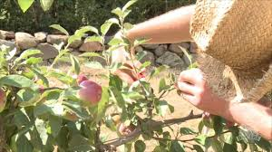 espalier apple pruning youtube