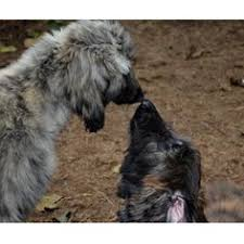 afghan hound dogs 101 dogs 101 afghan hound this is similar to what i had in mind of