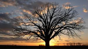 in missouri days of drought send caretakers to one big tree npr