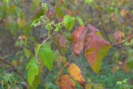 slideshow 809 04 fall colors poison ivy washington