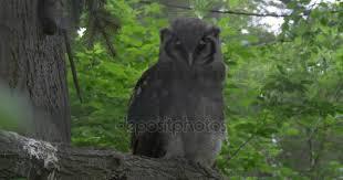si e habitat gufo che si siede su un ramo di albero e guardando intorno in zoo