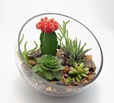 succulent and grafted cactus large half moon glass terrarium kit