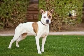 boxer dog for adoption view ad bull boxer dog for adoption arizona chandler usa
