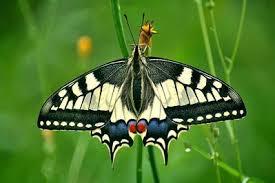 bureau de poste besan輟n johan d haenen vlinders butterflies koninginnenpage papilio