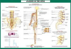 Neck Cross Sectional Anatomy View Lateral Cross Section Anatomy Of Spine Of An Intervertebral