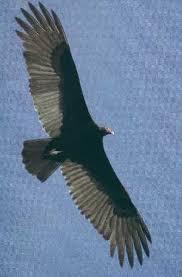 Seeking Vulture Vultures In Florida