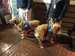 Comfort Golden Retriever Breeders Golden Retrievers Sent To Comfort Newtown In Wake Of Sandy Hook