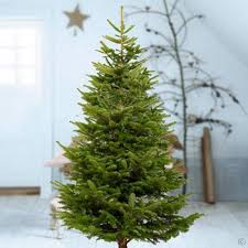 Christmas Tree Buy Online - christmas tree abies nordmanniana 175 200cm buy online order yours now