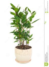 Small Flower Pot by Small Laurel Tree In Flower Pot Isolated On White Background