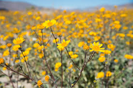 anza borrego super bloom anza borrego superbloom wandering always