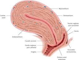 Cul De Sac Anatomy Female Organs Of The System And Their Neurovasculature