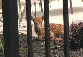 watch baby deer sneaks into family u0027s pool swims laps daily nj com
