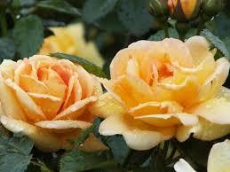 Fragrant Rose Plants - rose maigold rosa u0027maigold u0027 rosa u0027maigold u0027 climbing