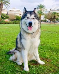 australian shepherd vs husky alaskan malamute vs siberian husky which dog makes a better pet