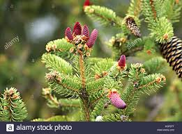 young pink cones on a norway spruce picea abies branch often