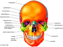 Human Anatomy Anterior Skull Anatomy Human Anatomy