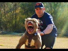 belgian malinois k9 attack best ultimate pit bull protection guard dog attack trained family