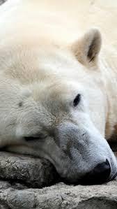 download wallpaper 750x1334 polar bear sitting thick iphone 6 hd