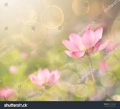 lotus flowers garden under sunlight stock photo 126146498
