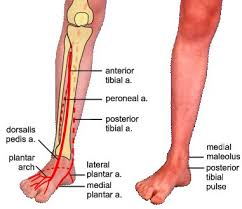 Foot Vascular Anatomy 400 Best Vascular Images On Pinterest Ultrasound Anatomy And