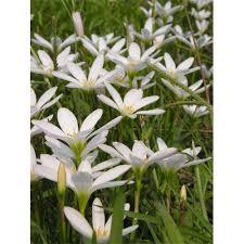 Rain Lily Rain Lily Bulbs Zephyranthes Bulbs For Sale Terra Ceia Farms