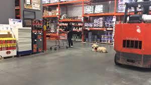 boris golden retriever puppy at home depot raleigh durham