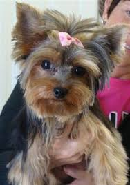 chorkie haircut styles homemade yorkie treats yorkies waterworks and eye