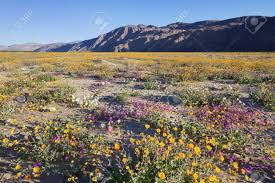 wildflower blooming in anza borrego desert state park california