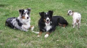 australian shepherd uglies petition release hero dogs buck u0026 bill back to their owner