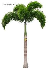 king palm tree welcome to your local nursery offering