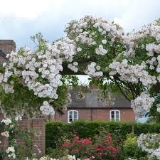 the garland rambling roses type