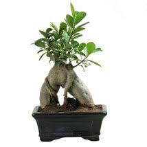 buy ornamental plants ornamental garden plants ferns n