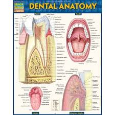 Human Dental Anatomy Barcharts Dental Anatomy Quick Study Guide Human Body Our