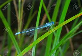 a up of the small blue dragonfly on grass blade stock photo