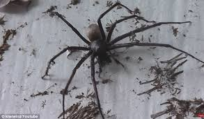 Huge Spider Memes Image Memes - giant sheet web spider stuns new zealand farmer daily mail online