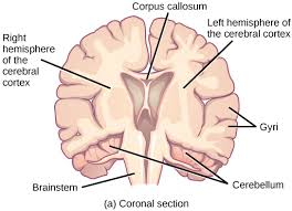 Which Part Of The Brain Consists Of Two Hemispheres Human Brain Neuroscience Cognitive Science