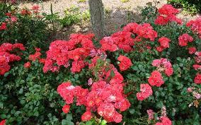 drift roses buy coral drift groundcover for sale online from wilson