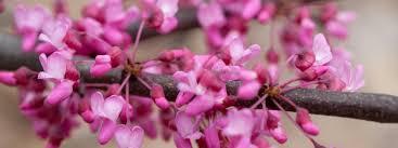 flowering trees minnesota hardy