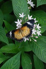 a butterfly called the leopard lacewing is laying on the