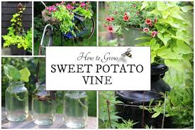 grow sweet potato vine easy plants empress of dirt