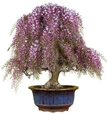 45 best bonsai images on bonsai trees plants and