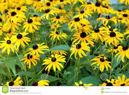 black eyed susan daisy stock image image 32703201